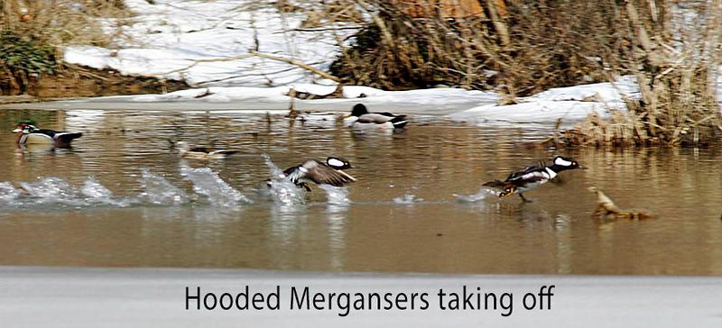 Hooded Mergansers Taking Off