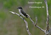 Eastern Kingbird at Chincoteague, VA