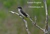 Eastern Kingbird at Chincoteague, VA
