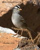 White-crowned Sparrow in Boulder, UT