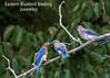 Eastern Bluebird feeding Juveniles
