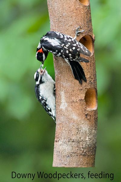 Downy Woodpeckers, feeding