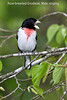 Rose-breasted Grosbeak male, singing