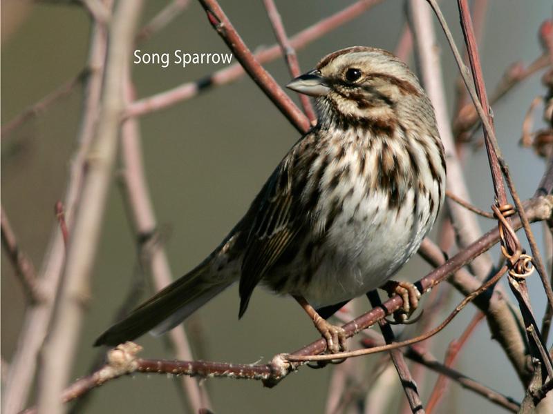 Song Sparrow, Lewis Ginter Botanical Gardens