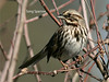Song Sparrow, Lewis Ginter Botanical Gardens