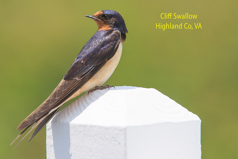 Cliff Swallow in Highland County, VA