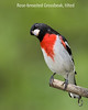 Rose-breasted Grosbeak, tilted
