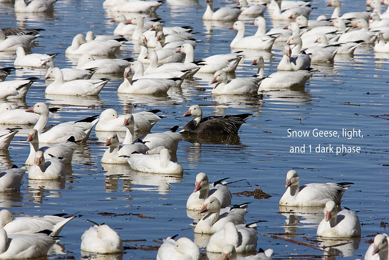 Snow Geese, light, and 1 dark phase at Bosque del Apache NWR, NM
