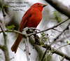 Summer Tanager, Male,