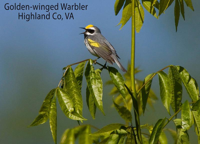 Golden-winged Warbler Singing