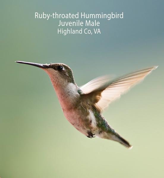 Ruby-throated Hummingbird in mid-air