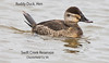 Ruddy Duck, Hen