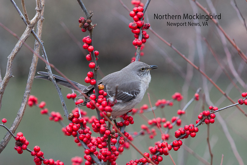 Singing Mockingbird