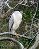 Black-crowned Night -Heron