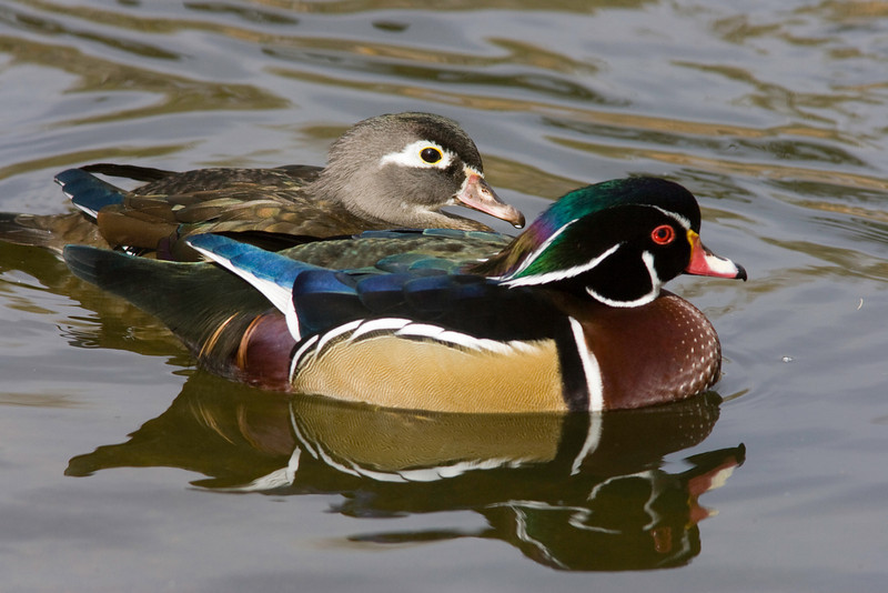Wood Duck Pair. Wild ducks on the grounds of the Rio Grande Zoo, Albuquerque, New Mexico.