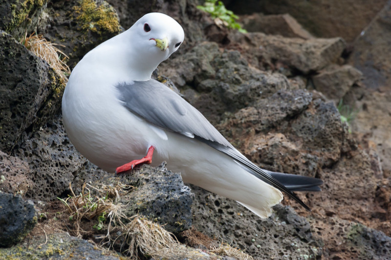Red-legged Kittiwake at St George Island, Alaska, Created 5/28/2005. Canon 1D Mark II camera with 300 mm f/4 Canon lens and 1.4x extender; 1/40 sec @ f/16 at 400 ISO. 90% of the world's Red-legged Kittiwakes nest on St. George Island.