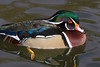 Wood Duck Drake. Wild duck on the grounds of the Rio Grande Zoo, Albuquerque, New Mexico.