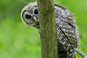 Barred Owl Peering around Tree. Pony Pasture Area, James River Park, Richmond, Virginia. The curious owl was looking at the photographer.