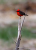 A Vermillion Flycatcher perched on a dead tree at Bosque Del Apache National Wildlife Refuge, New Mexico