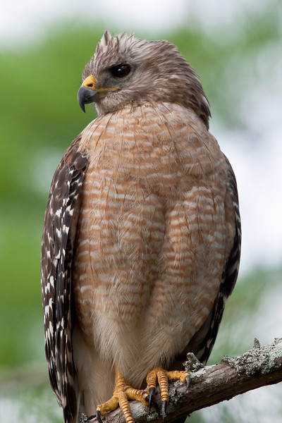 Red-shouldered Hawk. Perched on a prominent branch over the trail at Corkscrew Swamp Audubon Preserve near Naples, Florida