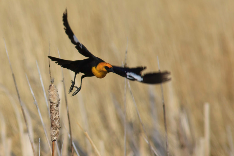 Yellow-headed Blackbird taking off at Alamosa NWR in south-central Colorado