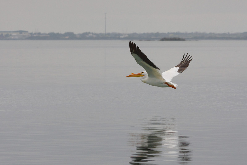 A single White Pelican flying close to the water over San Antonio Bay.