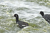 Coots in a Rush