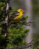 Western Tanager, Grand Tetons