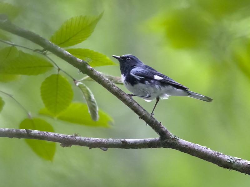 Black-throated Blue Warbler, Wise Co, VA