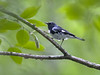 Black-throated Blue Warbler, Wise Co, VA