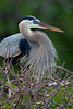 Blue Heron in Breeding Plumage