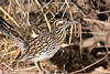 A Greater Roadrunner with a snake at Bosque Del Apache National Wildlife Refuge, New Mexico