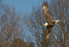 "Bald Eagle getting ready to snag a fish on the James River near Richmond, Virginia. Taken on an Eagle Tour on the James River with Mike Ostrander,  <a href=""http://www.DiscovertheJames.com"">http://www.DiscovertheJames.com</a>."