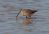 Short-billed Dowitcher. Poised over the water at Tigertail Beach, Marco Island, Florida