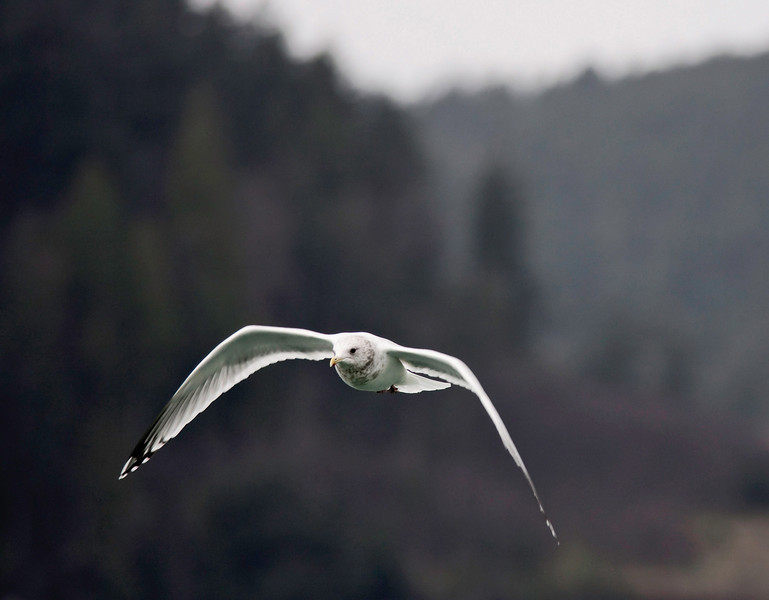Thayer's Gull in flight. Near Seattle, Washington