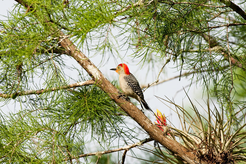 Woodpecker and matching Bromeliad. Corkscrew Swamp Preserve near Naples, Florida.
