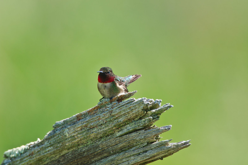 Ruby-throated Hummer, perched