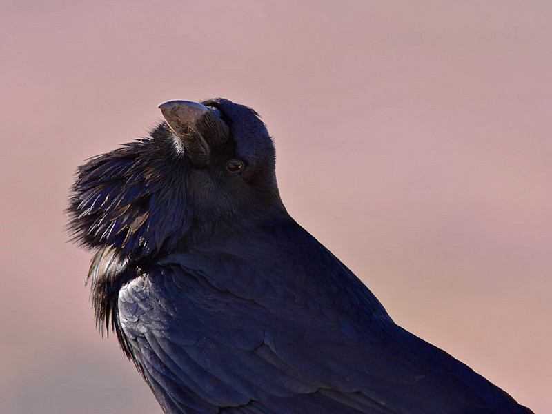 Common Raven in Petrified Forest National Park, Utah, at an overlook for Painted Desert, near Holbrook, AZ.