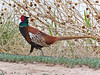 A male Ring-necked Pheasant at Bosque del Apache National Wildlife Refuge in April, 2010