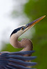 Great Blue Heron Artistry