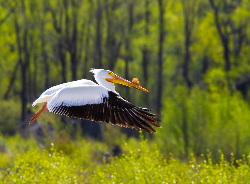 American White Pelican in flight. Snake River, Grand Teton National Park, Wyoming. This pelican was in breeding plumage, as the structure on the bill reveals.