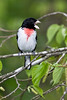 Rose-breasted Grossbeak male, singing