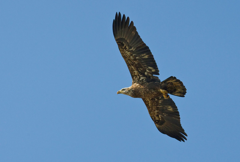 "A juvenile or 2nd year Bald Eagle lines up on a fish. Taken on an Eagle Tour on the James River with Mike Ostrander,  <a href=""http://www.DiscovertheJames.com"">http://www.DiscovertheJames.com</a>."