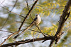 Scissor-tailed Flycatcher. Degray Lake Resort, Arkansas
