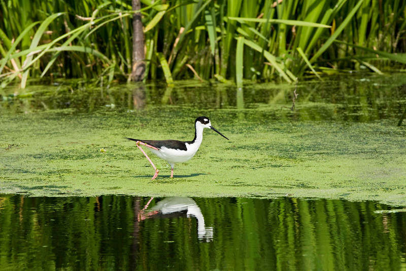 Black-necked Stilt Reflection. Green Cay Wetlands, Delray Beach, Florida. This Black-necked Stilt walked along the edge of this shallow shelf, reflected in the open water beyond.