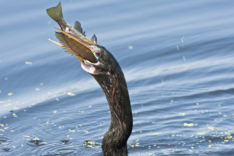 Anhinga Swallowing fish whole