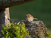 Young Field Sparrow