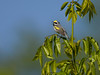 Golden-winged Warbler Singing