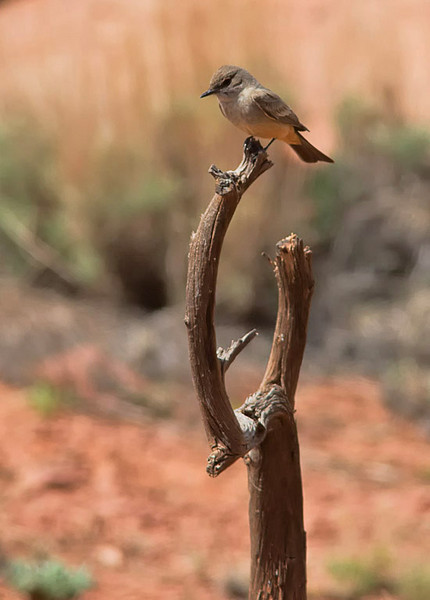 Say's Phoebe at Howard Johnson Inn, Torrey, Utah