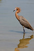 Reddish Egret in Breeding Plumage